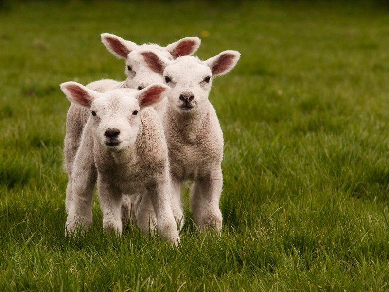 Овцеводство